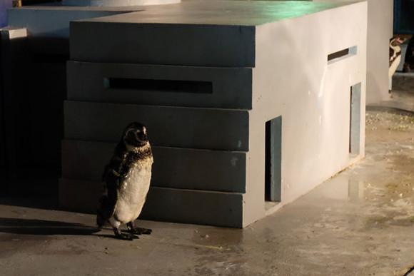 ナイトのげやまペンギン